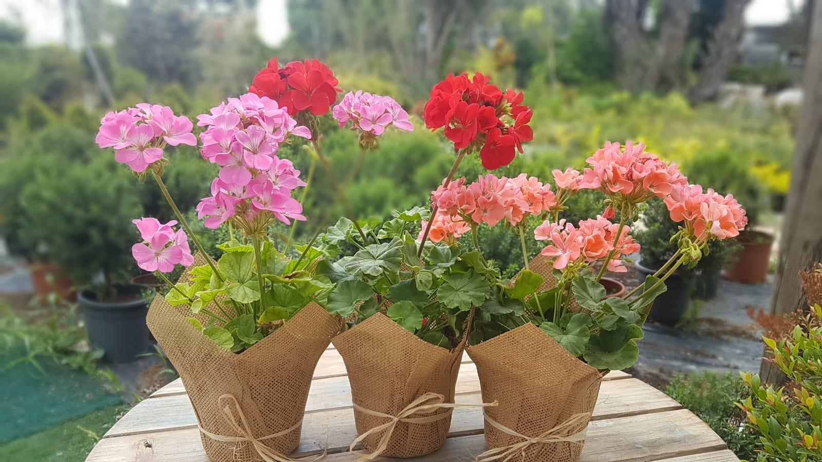 image-בוטניקו צמחים לאירועים